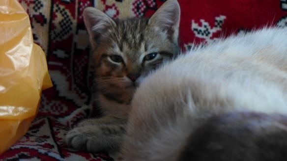 Katze_Kasachstan