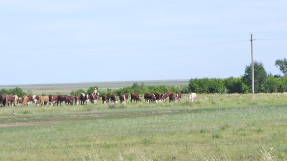 Kühe_Steppe_Kasachstan