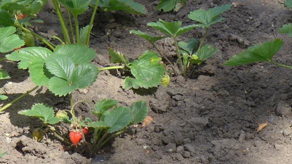 Erdbeeren_Garten