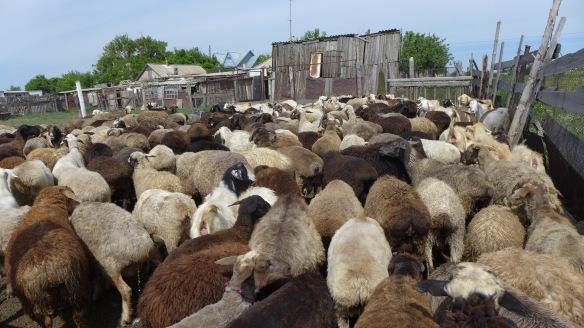 Stall_Schafe_Kasachstan
