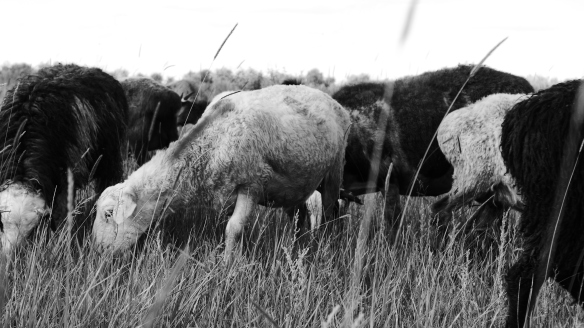 Schafe_schwarzweiss_Kasachstan