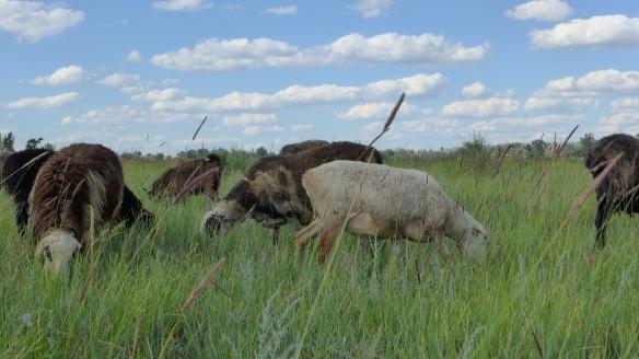 Schafe_Kasachstan