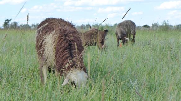 Schafe_grasen_Kasachstan