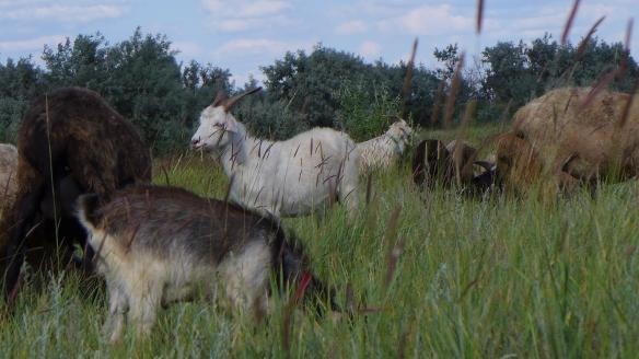 Ziegenbock_Kasachstan